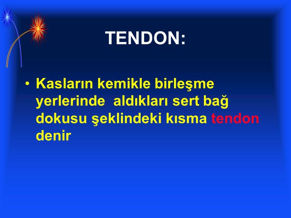 TENDON: Kasların kemikle birleşme yerlerinde aldıkları sert bağ dokusu şeklindeki kısma tendon denir