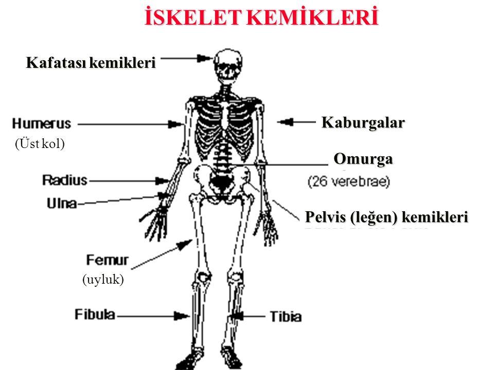 İSKELET KEMİKLERİ Kafatası kemikleri (Üst kol) (uyluk) Omurga Pelvis (leğen) kemikleri Kaburgalar