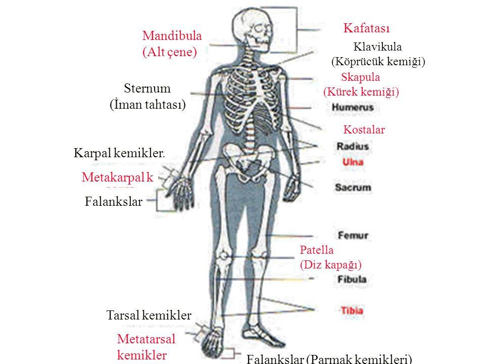 Mandibula (Alt çene) Sternum (İman tahtası) Karpal kemikler. Falankslar Metakarpal k Tarsal kemikler Metatarsal kemikler Falankslar (Parmak kemikleri)