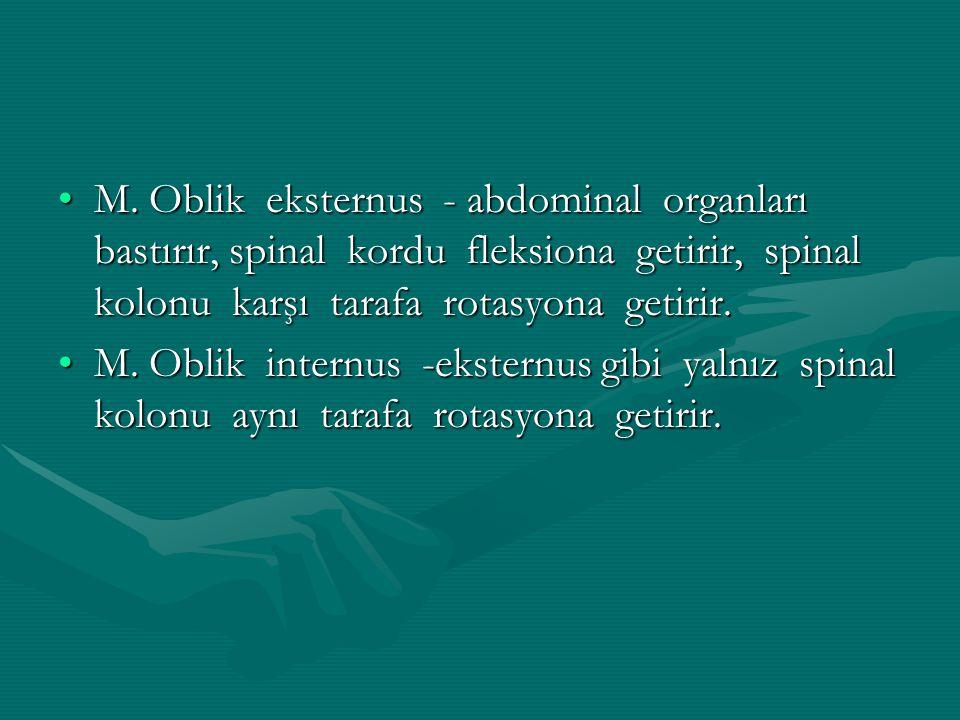 M. Oblik eksternus - abdominal organları bastırır, spinal kordu fleksiona getirir, spinal kolonu karşı tarafa rotasyona getirir.M. Oblik eksternus - a