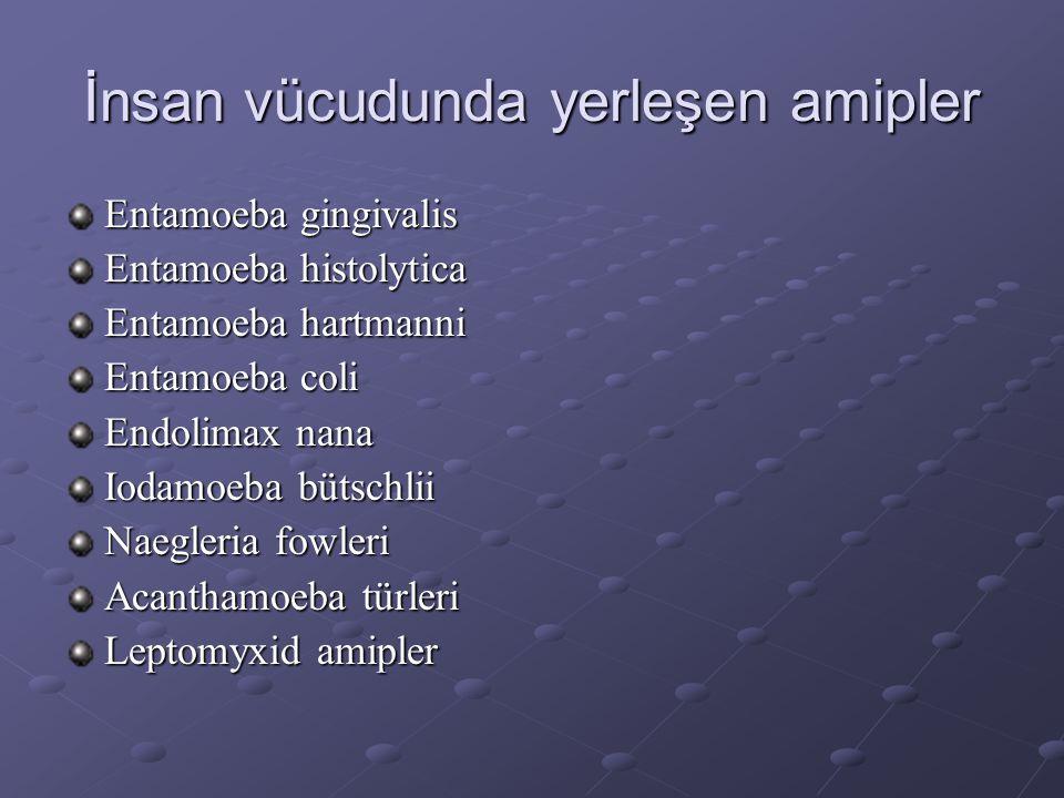 İnsan vücudunda yerleşen amipler Entamoeba gingivalis Entamoeba histolytica Entamoeba hartmanni Entamoeba coli Endolimax nana Iodamoeba bütschlii Naeg