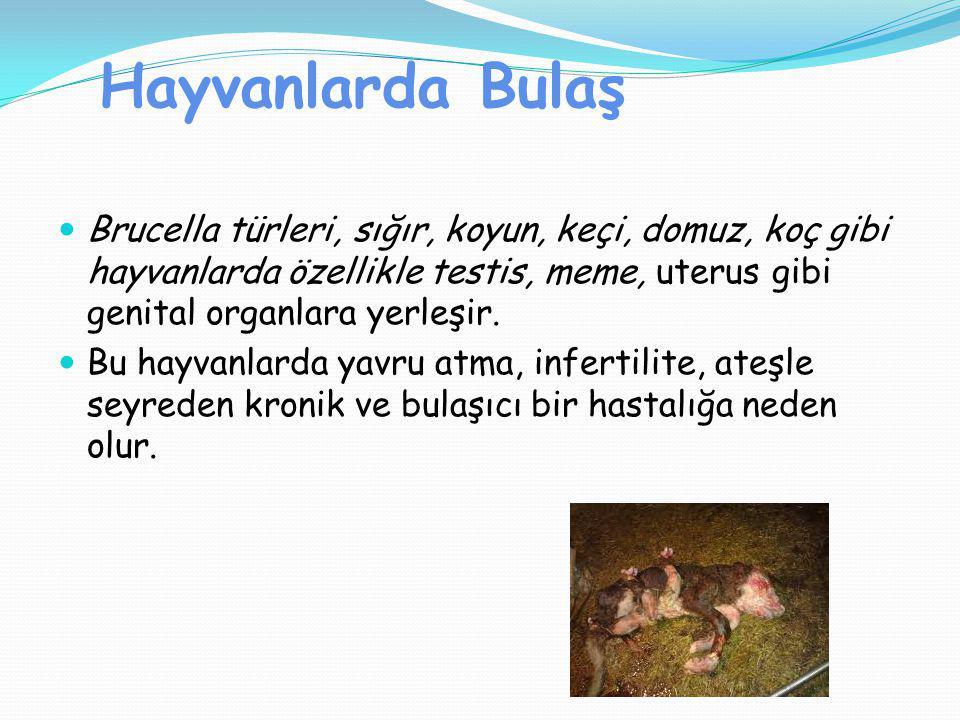 Hayvanlarda Bulaş Brucella türleri, sığır, koyun, keçi, domuz, koç gibi hayvanlarda özellikle testis, meme, uterus gibi genital organlara yerleşir. Bu