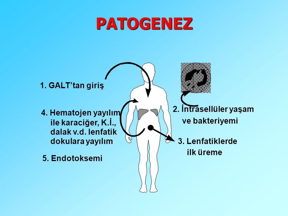 3. Lenfatiklerde ilk üreme 2. İntrasellüler yaşam ve bakteriyemi 4.Hematojenyayılım ile karaciğer, K.İ., dalak v.d. lenfatik dokulara yayılım 1. GALT'
