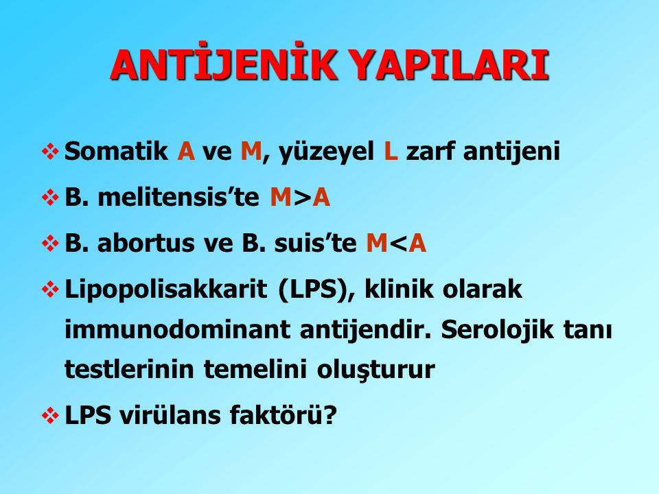 ANTİJENİK YAPILARI v Somatik A ve M, yüzeyel L zarf antijeni v B. melitensis'te M>A v B. abortus ve B. suis'te M<A v Lipopolisakkarit (LPS), klinik ol