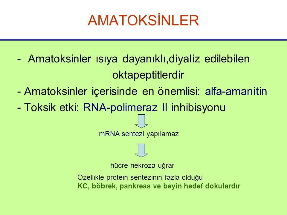 AMATOKSİNLER -Amatoksinler ısıya dayanıklı,diyaliz edilebilen oktapeptitlerdir - Amatoksinler içerisinde en önemlisi: alfa-amanitin - Toksik etki: RNA-polimeraz II inhibisyonu mRNA sentezi yapılamaz hücre nekroza uğrar Özellikle protein sentezinin fazla olduğu KC, böbrek, pankreas ve beyin hedef dokulardır
