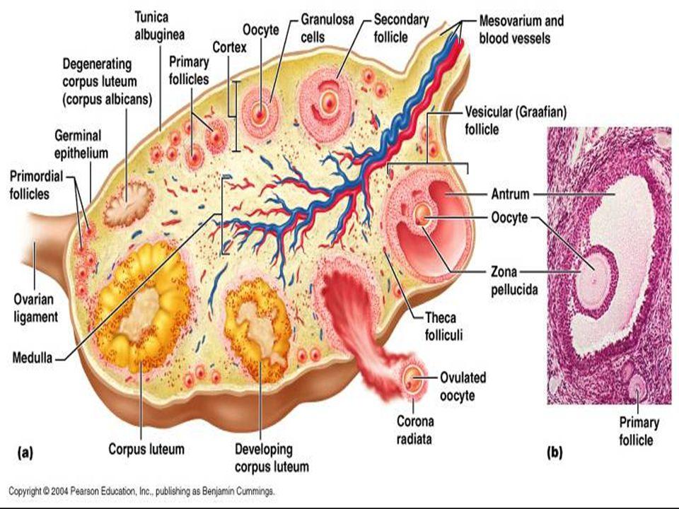 Mirena ile amenore  Gebelik,  Menopoz ya da  Over disfonksiyonu anlamına gelmez.