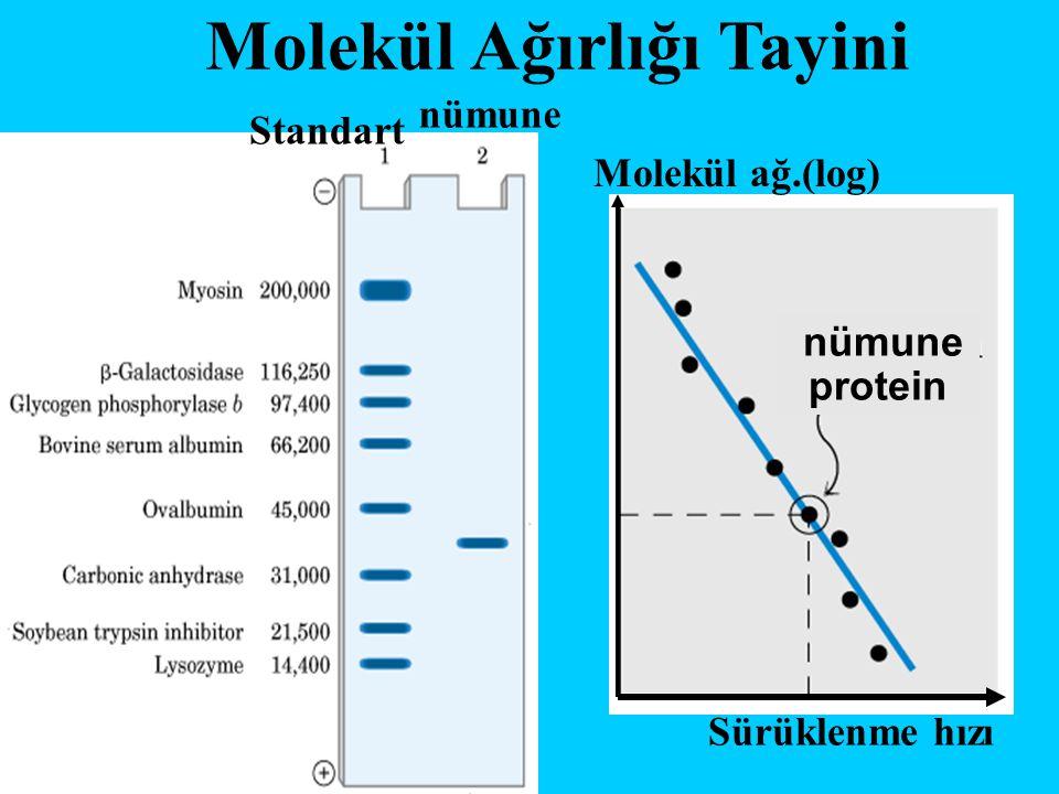 Molekül Ağırlığı Tayini Standart nümune Sürüklenme hızı Molekül ağ.(log) nümune protein