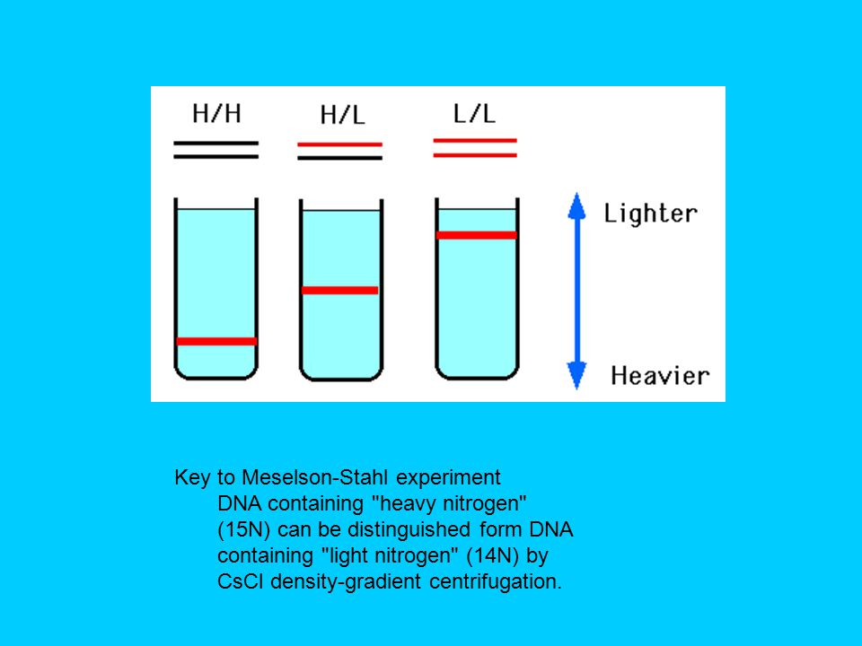 Key to Meselson-Stahl experiment DNA containing heavy nitrogen (15N) can be distinguished form DNA containing light nitrogen (14N) by CsCl density-gradient centrifugation.