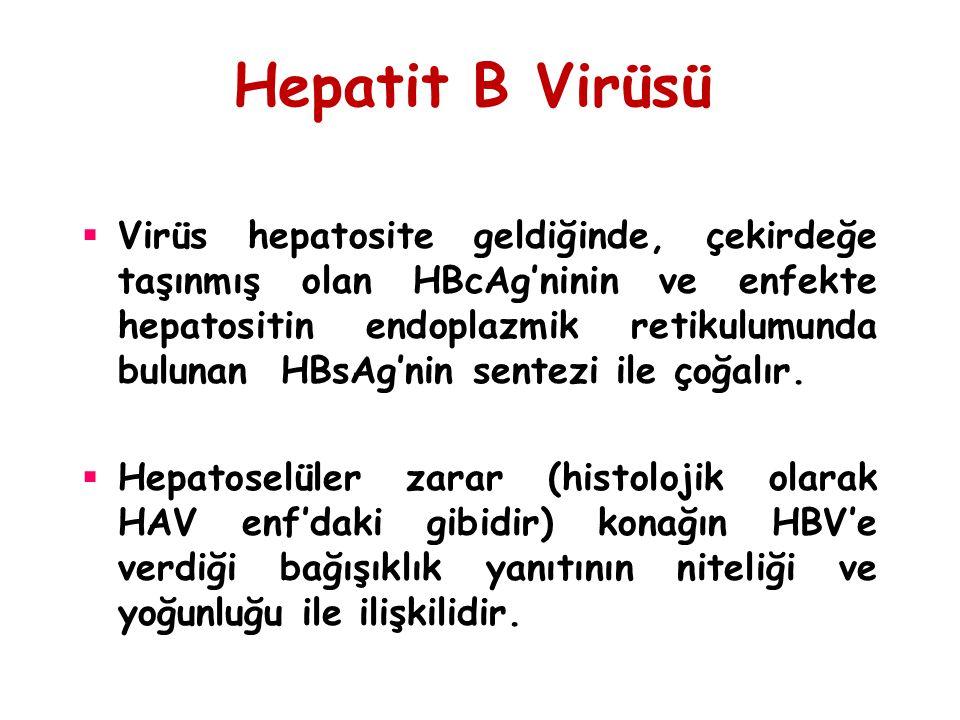 Hepatit B Virüsü  Virüs hepatosite geldiğinde, çekirdeğe taşınmış olan HBcAg'ninin ve enfekte hepatositin endoplazmik retikulumunda bulunan HBsAg'nin
