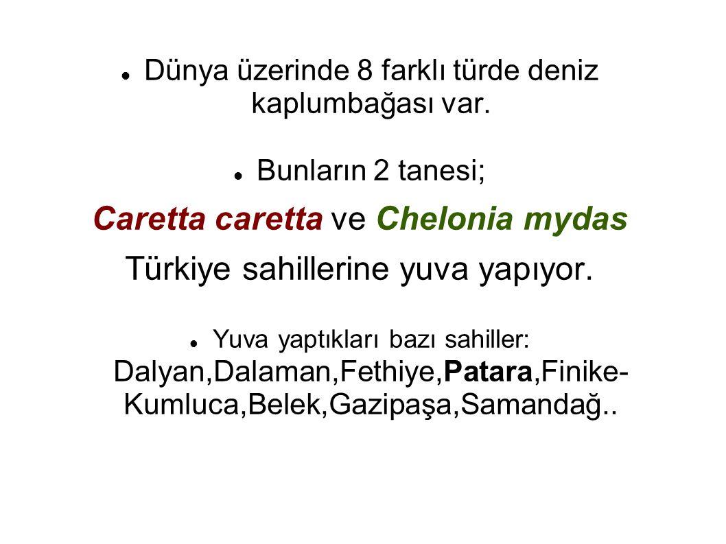 Caretta caretta Türkçe İribaş kaplumbağa deniliyor.