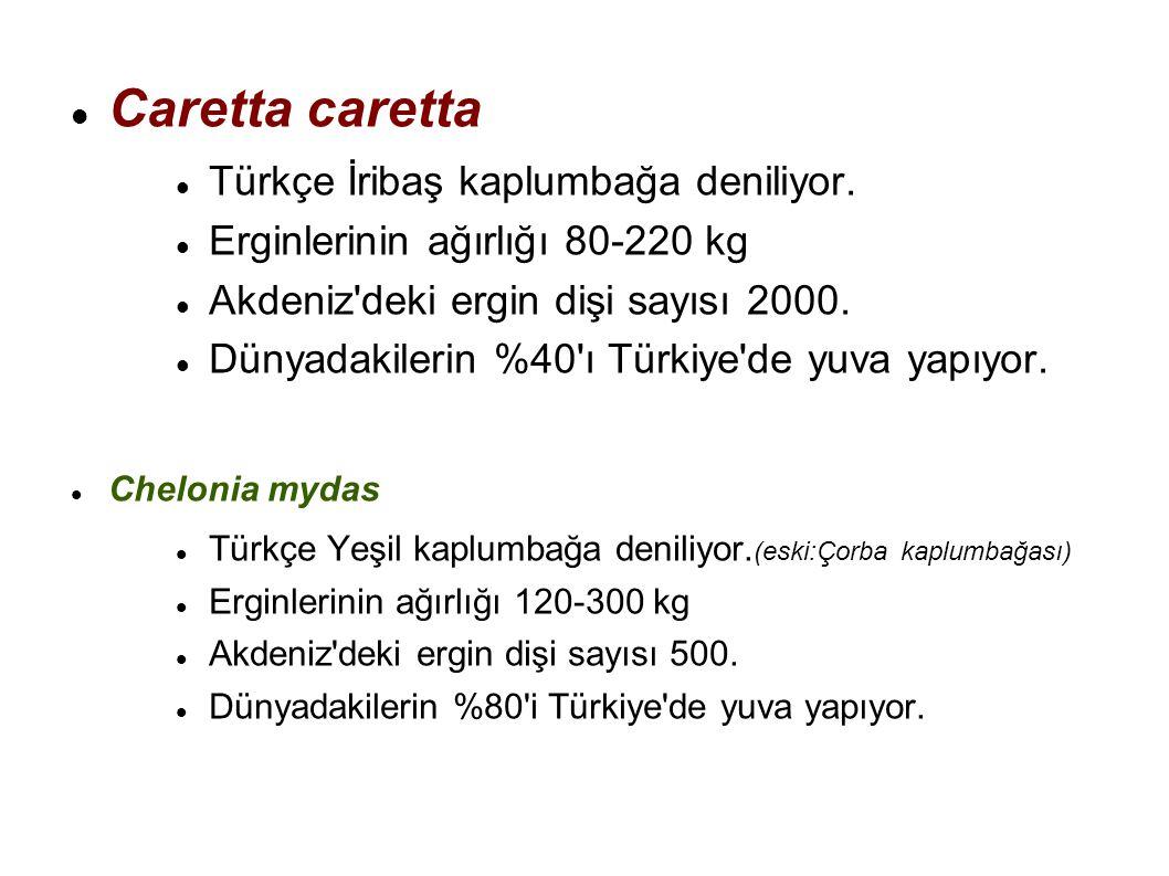 Caretta caretta Türkçe İribaş kaplumbağa deniliyor. Erginlerinin ağırlığı 80-220 kg Akdeniz'deki ergin dişi sayısı 2000. Dünyadakilerin %40'ı Türkiye'