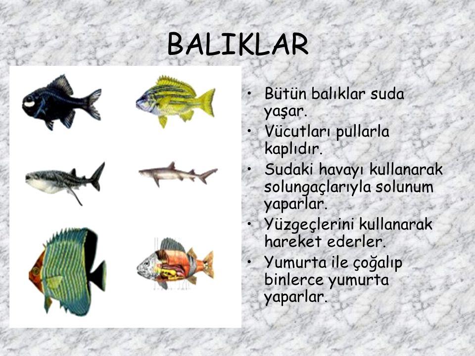 BALIKLAR Bütün balıklar suda yaşar. Vücutları pullarla kaplıdır. Sudaki havayı kullanarak solungaçlarıyla solunum yaparlar. Yüzgeçlerini kullanarak ha