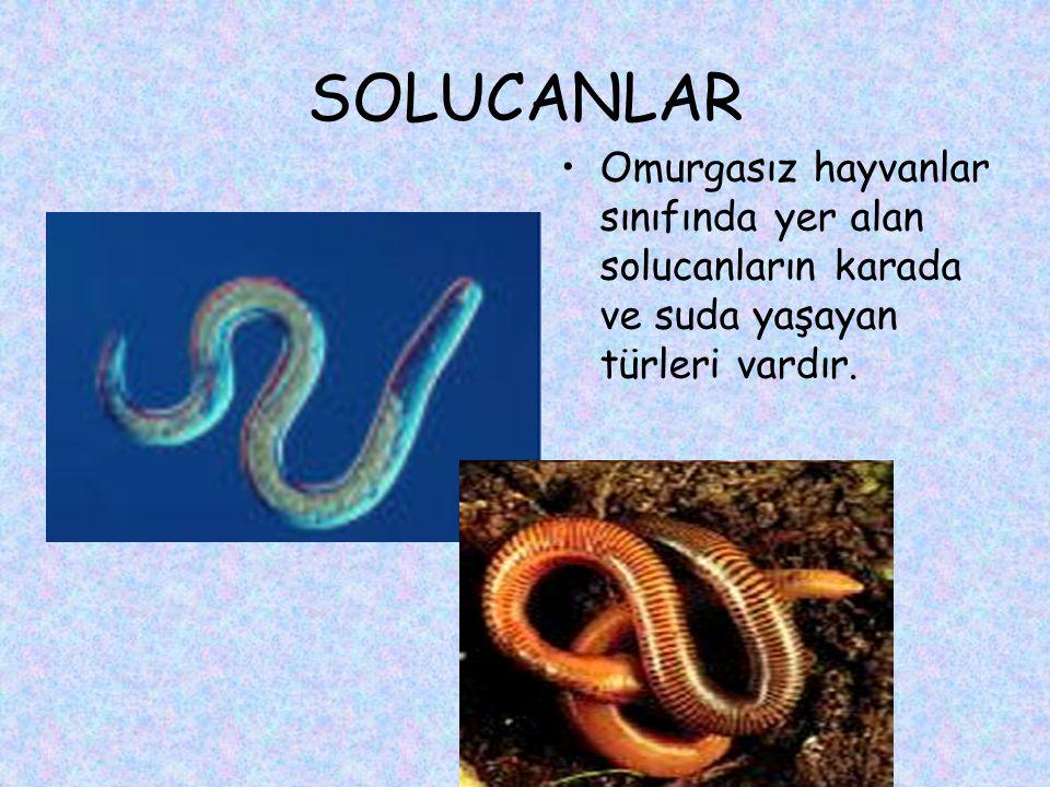 SOLUCANLAR Omurgasız hayvanlar sınıfında yer alan solucanların karada ve suda yaşayan türleri vardır.