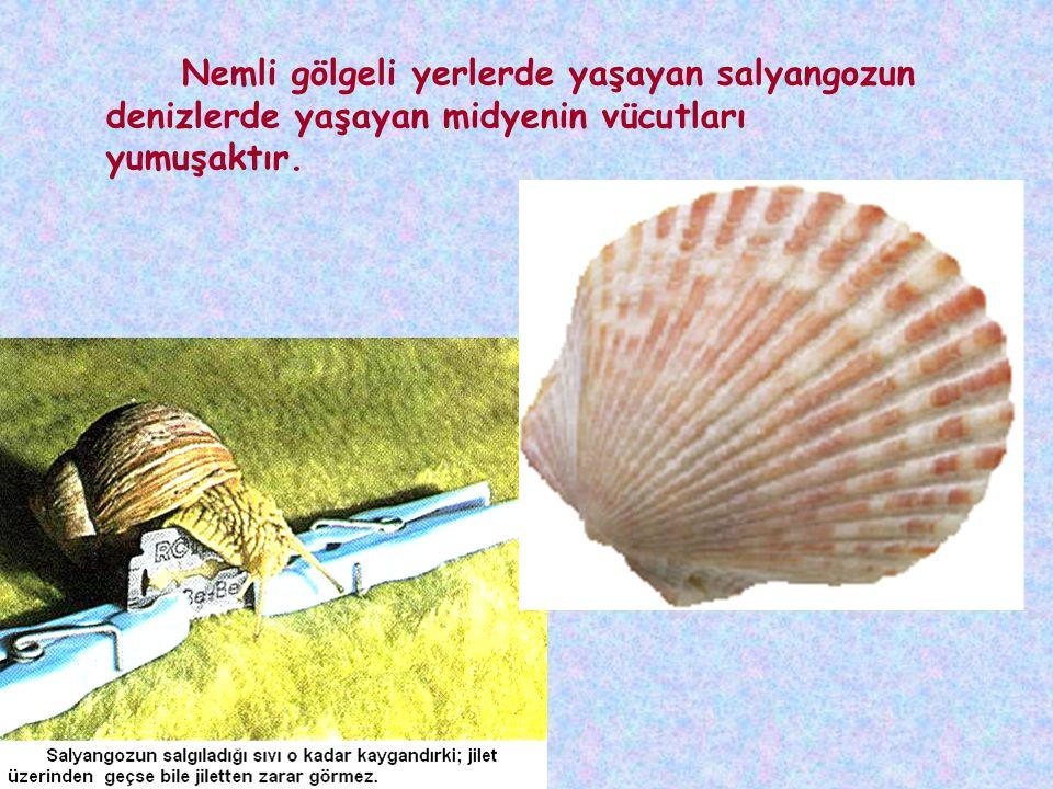 Nemli gölgeli yerlerde yaşayan salyangozun denizlerde yaşayan midyenin vücutları yumuşaktır.