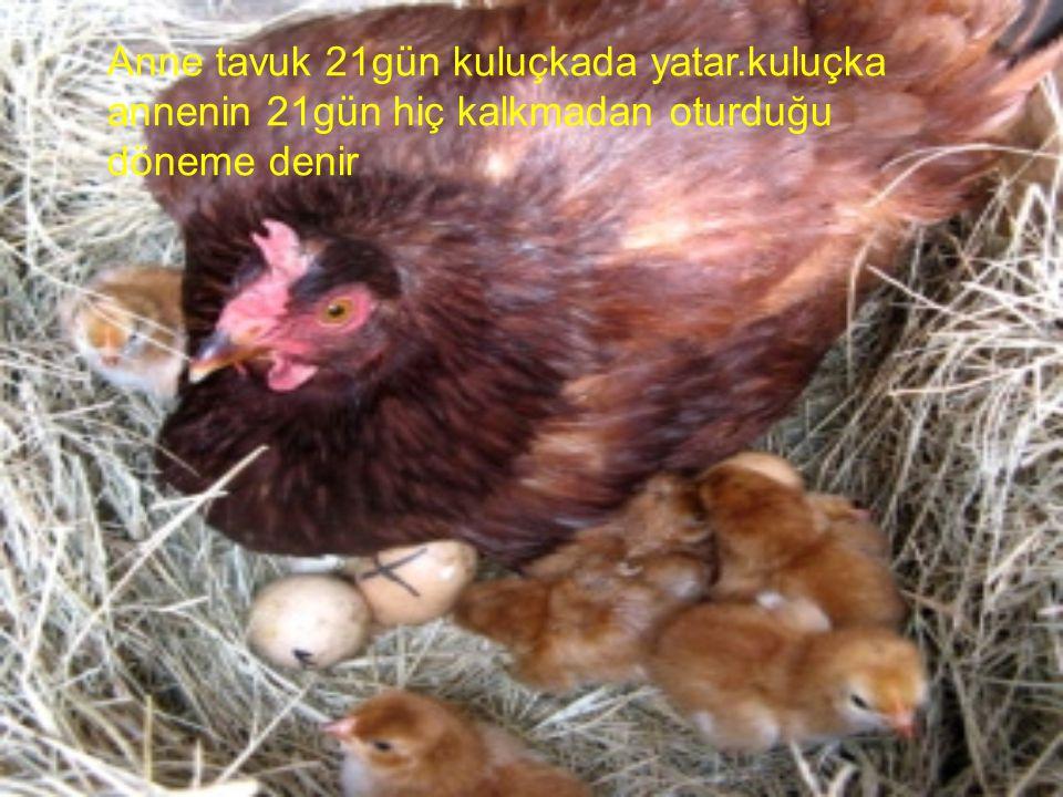 İnsanlar tavukların etlerinden ve yumurtalarından yararlanırlar