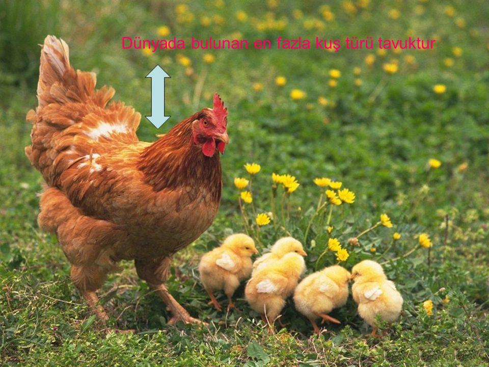 İşte kuluçkada yatan bir anne ve yavrusu.21gün sonra yavru Civcivler meydana gelir.