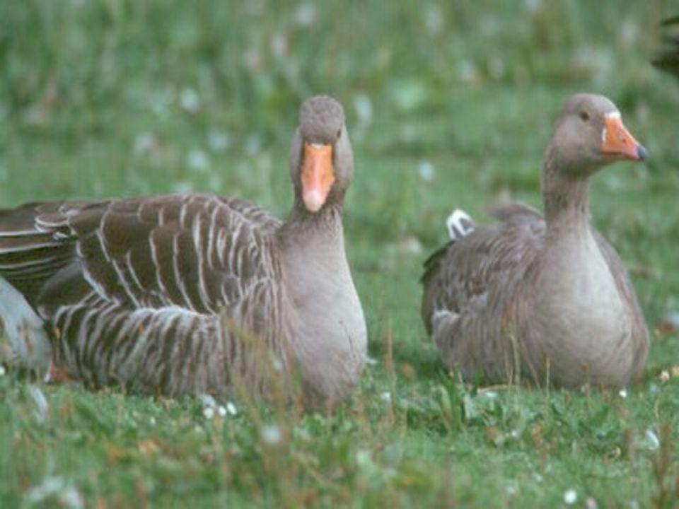 Kazlar; Otlarla beslenirler.Kızdıkları zaman boyun tüylerini kabartırlar.Suda rahatça yüzer, daldığında uzun zaman su altında kalabilir.Hem suda hem d