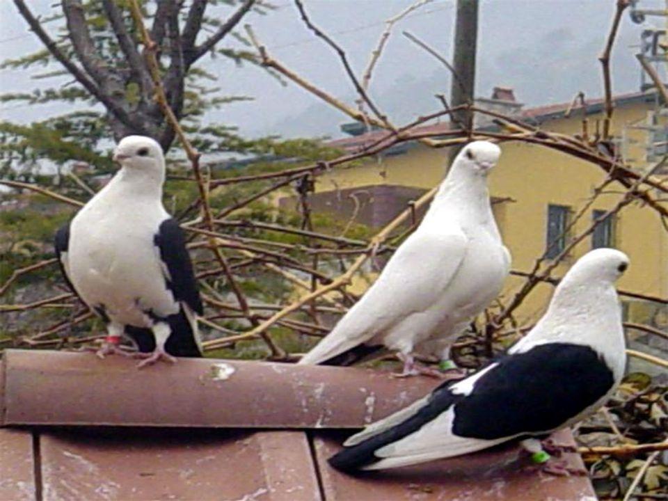 Yavru güvercinler doğdukları zaman 7 gün gözleri açılmaz.küçük oldukları için böcek yiyemezler.