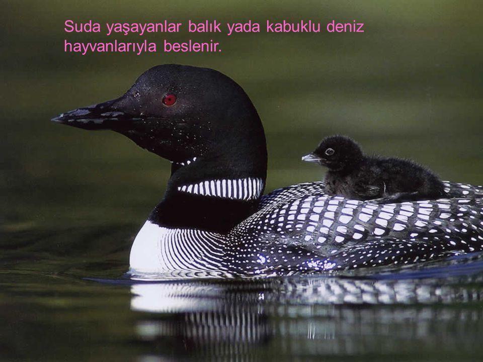 Ördekler; suda ve kara da yaşarlar.karada yaşayanlar genelde sümüklü böcek yiyerek beslenir.