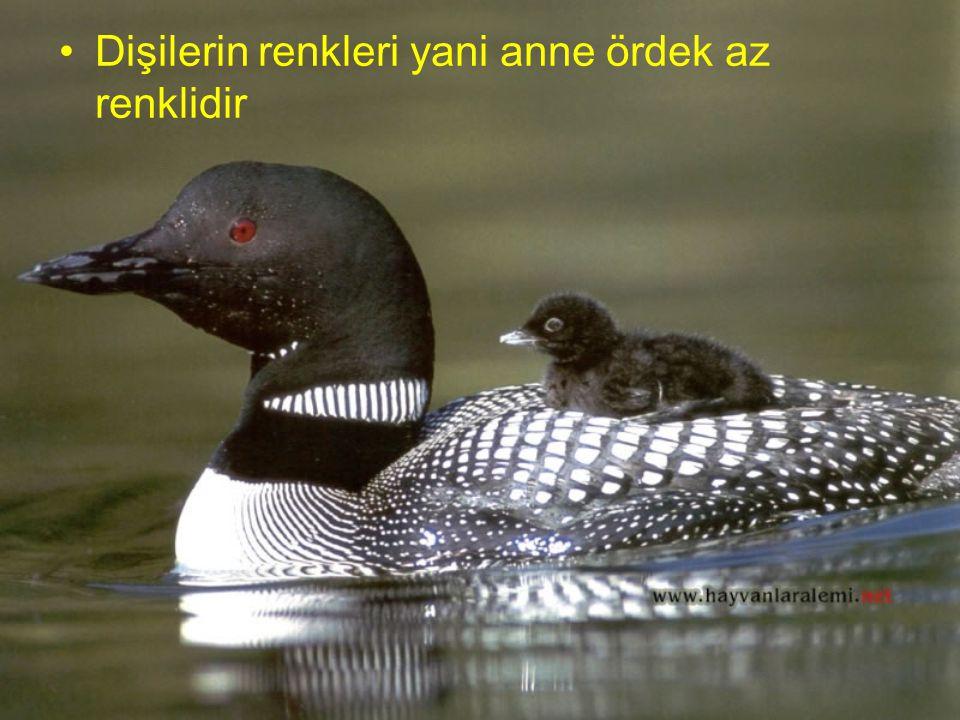 Erkek ördeklerin tüyleri parlak ve renklidir, boyunları yeşil olur