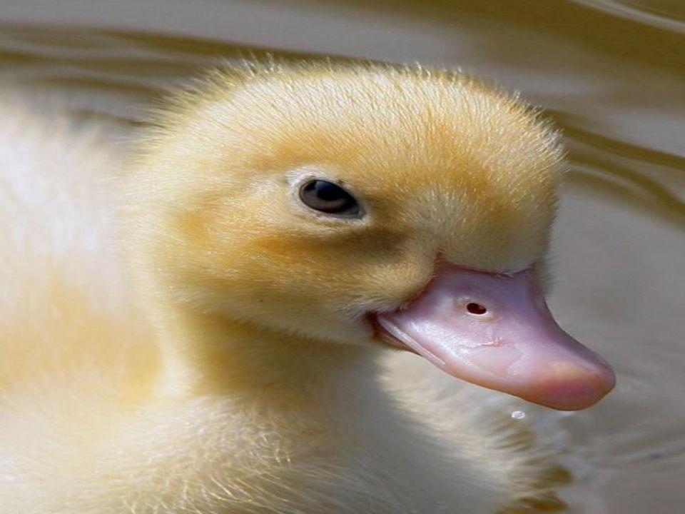 Dişilerin renkleri yani anne ördek az renklidir