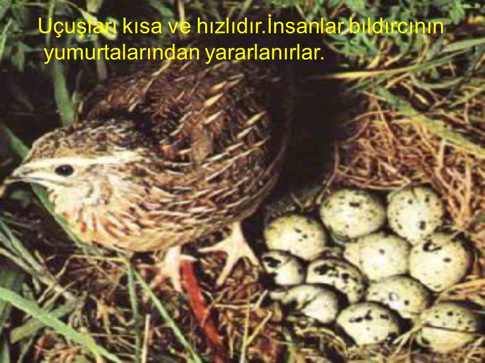 Bıldırcın;küçük karada yaşayan kuşlardır.Tohum ve küçük böceklerle beslenirler.Yerde yuva yaparlar.
