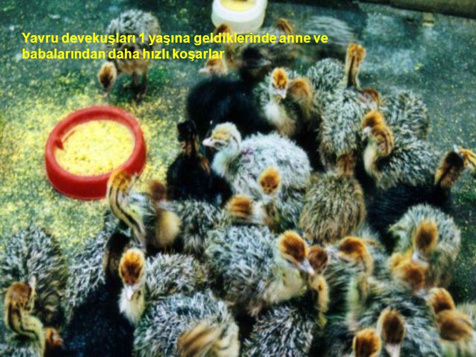 Devekuşunun 1 yumurtası tavuğun tam 24 yumurtasına eşdeğerdir.