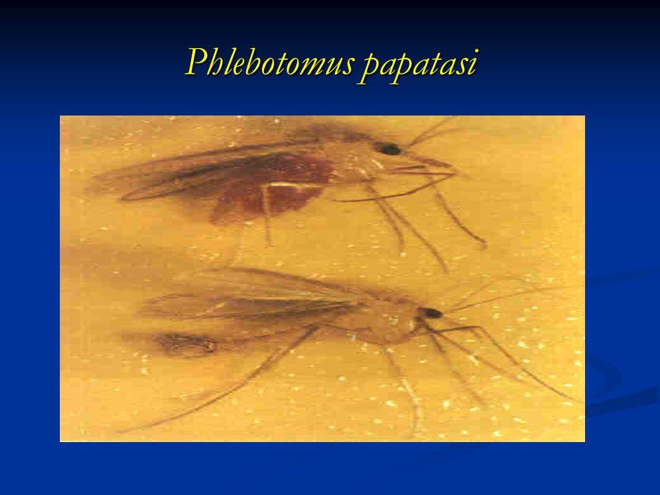 Phlebotomus papatasi