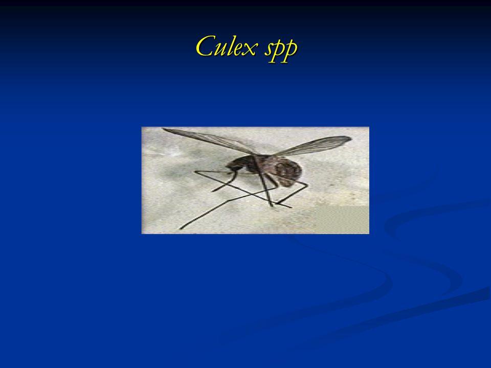 Culex spp