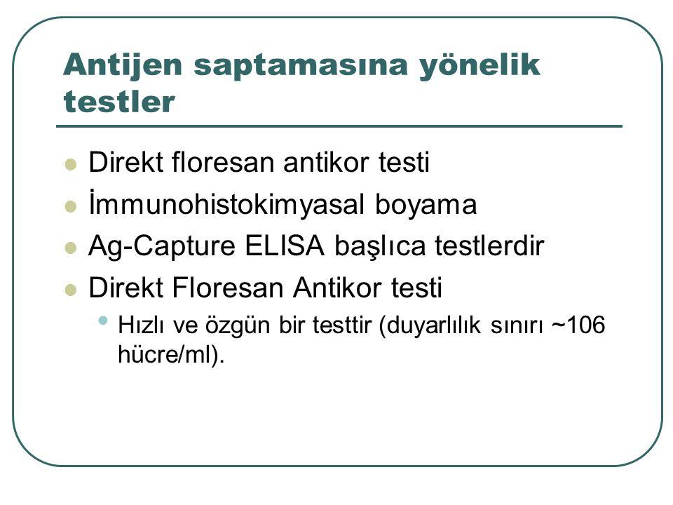 Antijen saptamasına yönelik testler Direkt floresan antikor testi İmmunohistokimyasal boyama Ag-Capture ELISA başlıca testlerdir Direkt Floresan Antik