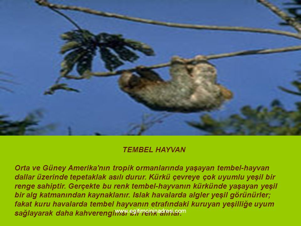 TEMBEL HAYVAN Orta ve Güney Amerika'nın tropik ormanlarında yaşayan tembel-hayvan dallar üzerinde tepetaklak asılı durur. Kürkü çevreye çok uyumlu yeş