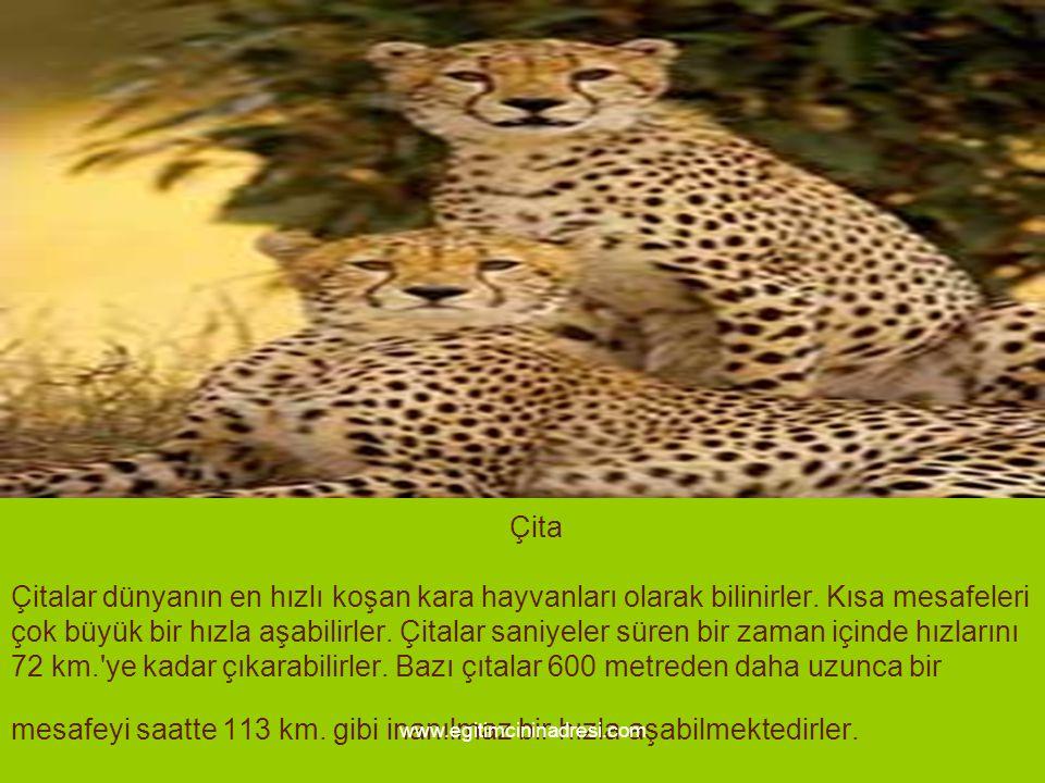 Çita Çitalar dünyanın en hızlı koşan kara hayvanları olarak bilinirler. Kısa mesafeleri çok büyük bir hızla aşabilirler. Çitalar saniyeler süren bir z