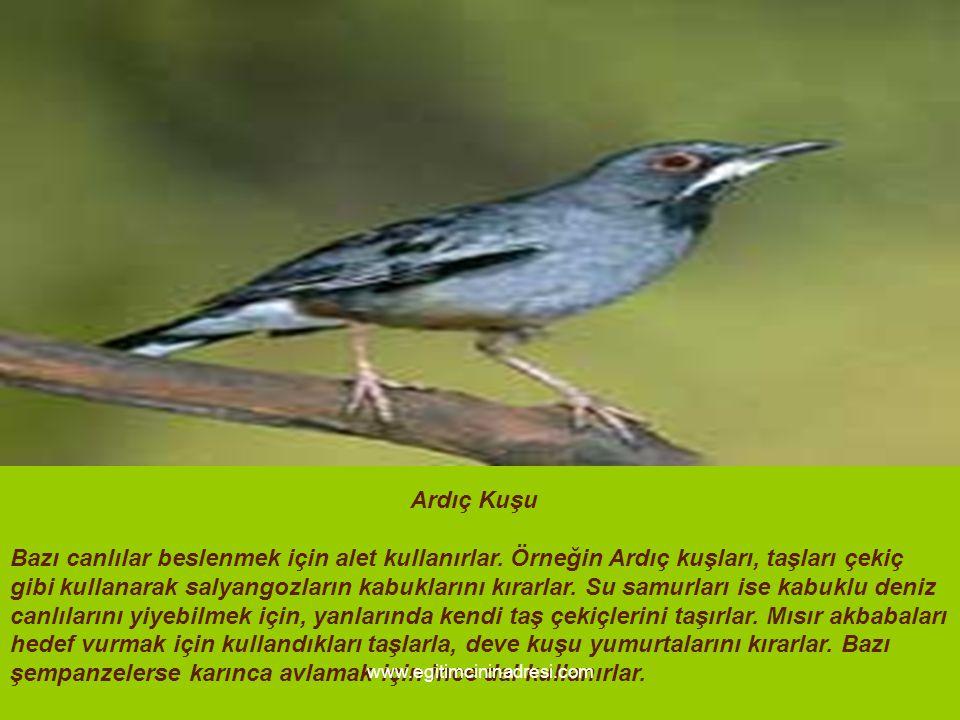 Ardıç Kuşu Bazı canlılar beslenmek için alet kullanırlar. Örneğin Ardıç kuşları, taşları çekiç gibi kullanarak salyangozların kabuklarını kırarlar. Su