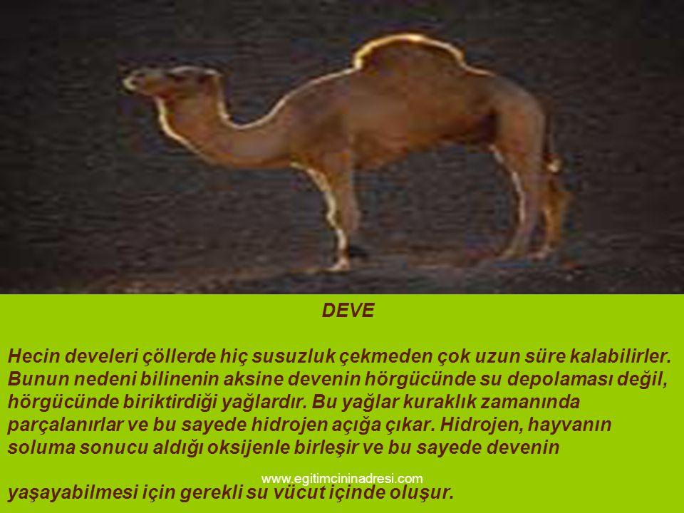 DEVE Hecin develeri çöllerde hiç susuzluk çekmeden çok uzun süre kalabilirler. Bunun nedeni bilinenin aksine devenin hörgücünde su depolaması değil, h