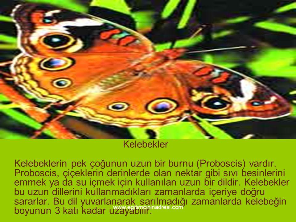 Kelebekler Kelebeklerin pek çoğunun uzun bir burnu (Proboscis) vardır. Proboscis, çiçeklerin derinlerde olan nektar gibi sıvı besinlerini emmek ya da