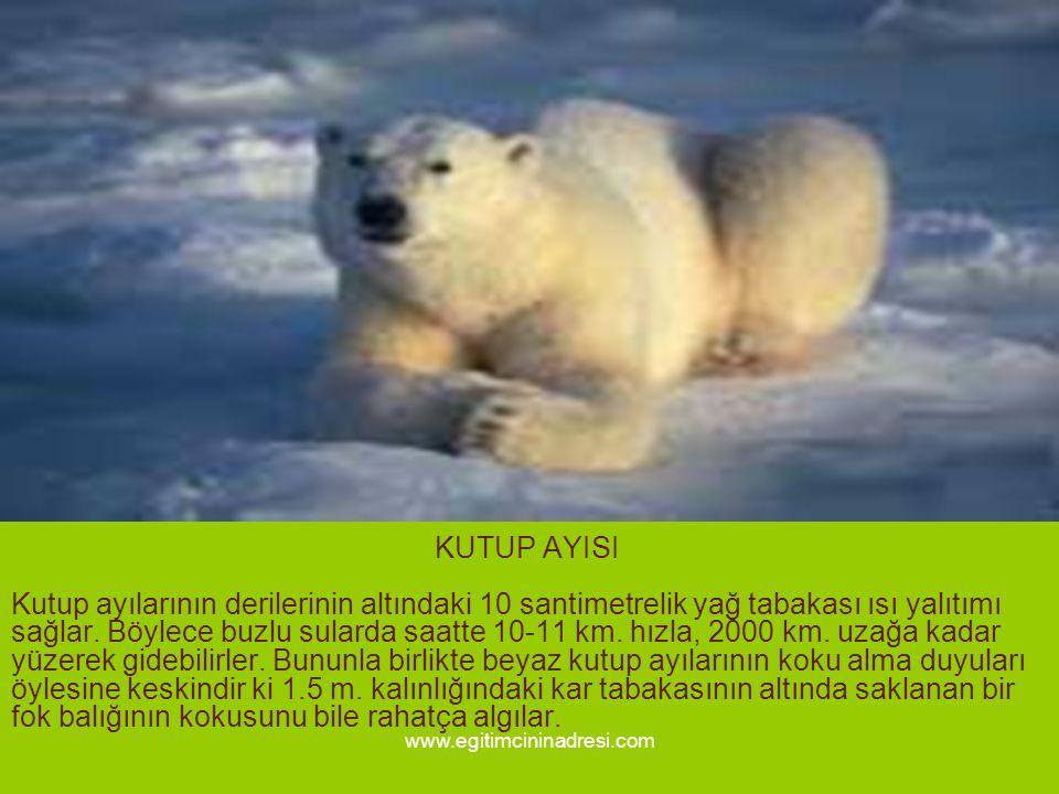 KUTUP AYISI Kutup ayılarının derilerinin altındaki 10 santimetrelik yağ tabakası ısı yalıtımı sağlar. Böylece buzlu sularda saatte 10-11 km. hızla, 20