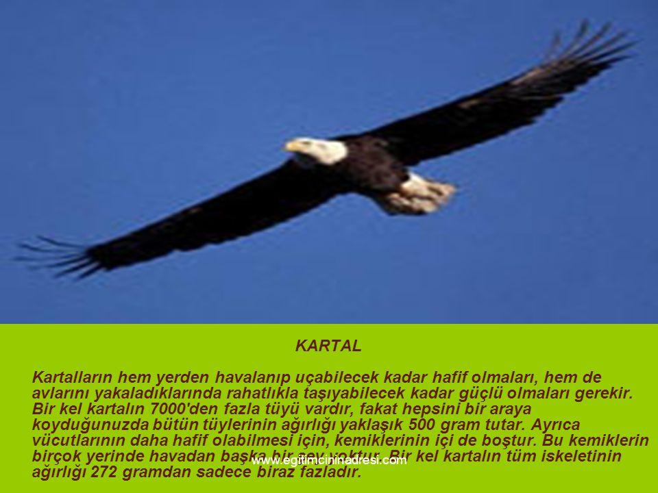 KARTAL Kartalların hem yerden havalanıp uçabilecek kadar hafif olmaları, hem de avlarını yakaladıklarında rahatlıkla taşıyabilecek kadar güçlü olmalar