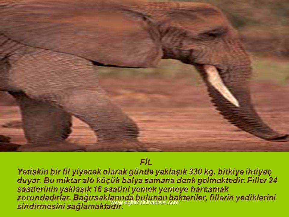 FİL Yetişkin bir fil yiyecek olarak günde yaklaşık 330 kg. bitkiye ihtiyaç duyar. Bu miktar altı küçük balya samana denk gelmektedir. Filler 24 saatle