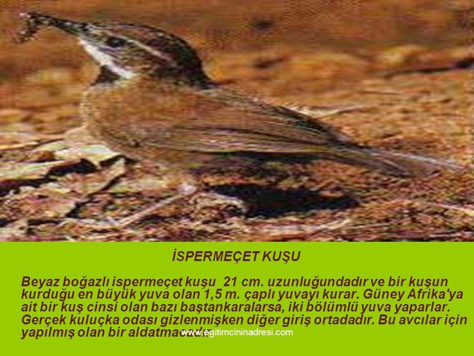 İSPERMEÇET KUŞU Beyaz boğazlı ispermeçet kuşu 21 cm.