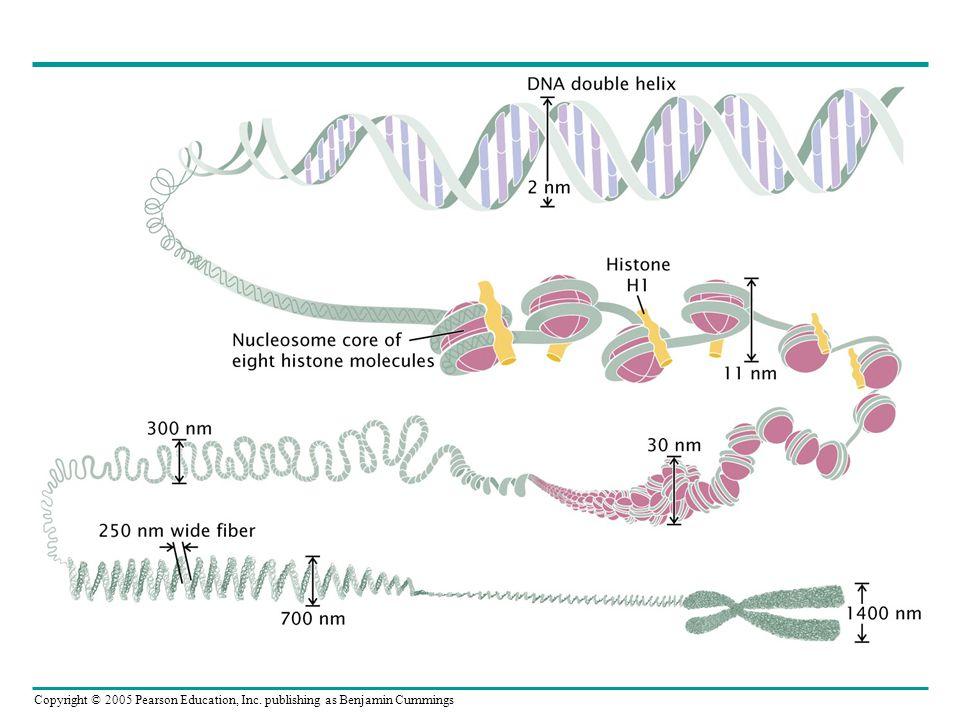 Heterochromatin-Kromozom bantları mitotik kromozom boyunca bölgeleri farklılaştırır İnsan mitotik kromozomu G-banded karyotype of a normal human male.
