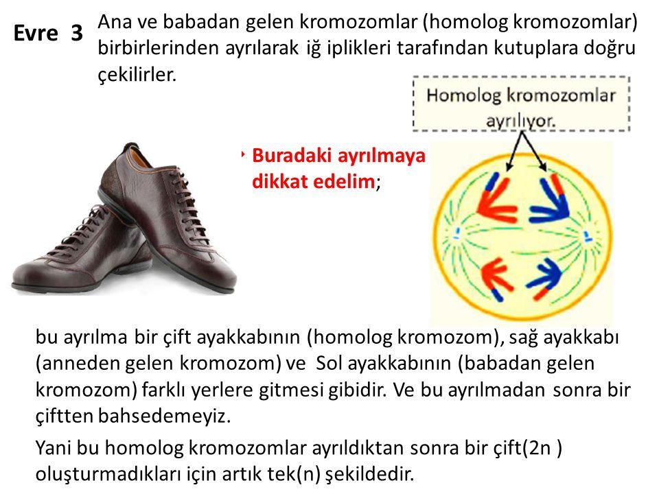 Evre 3 Ana ve babadan gelen kromozomlar (homolog kromozomlar) birbirlerinden ayrılarak iğ iplikleri tarafından kutuplara doğru çekilirler.