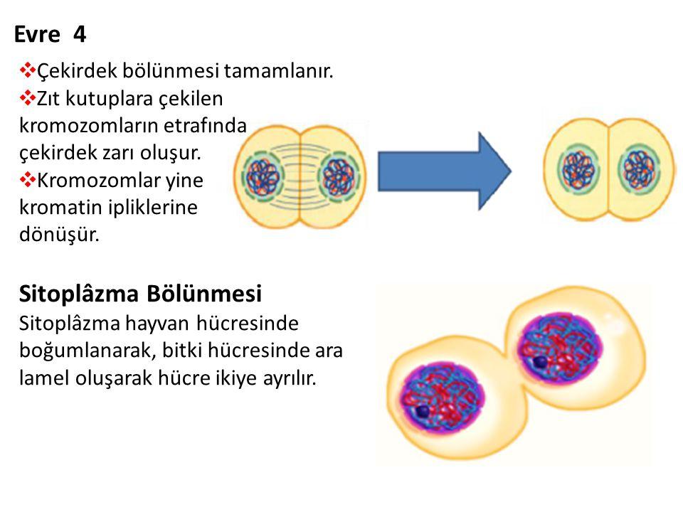 Evre 4 ❖ Çekirdek bölünmesi tamamlanır. ❖ Zıt kutuplara çekilen kromozomların etrafında çekirdek zarı oluşur. ❖ Kromozomlar yine kromatin ipliklerine