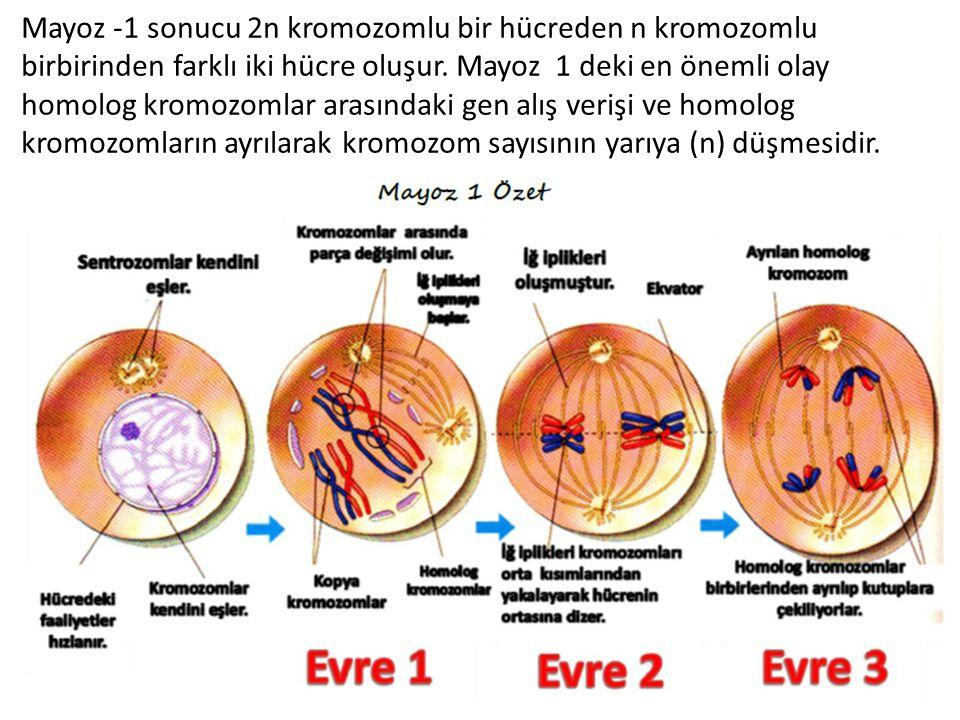 Mayoz -1 sonucu 2n kromozomlu bir hücreden n kromozomlu birbirinden farklı iki hücre oluşur. Mayoz 1 deki en önemli olay homolog kromozomlar arasındak