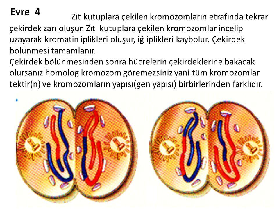 Evre 4 Zıt kutuplara çekilen kromozomların etrafında tekrar çekirdek zarı oluşur. Zıt kutuplara çekilen kromozomlar incelip uzayarak kromatin iplikler