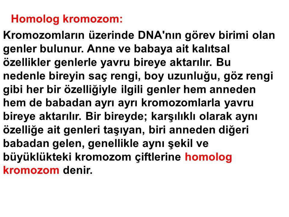 Kromozomların üzerinde DNA'nın görev birimi olan genler bulunur. Anne ve babaya ait kalıtsal özellikler genlerle yavru bireye aktarılır. Bu nedenle bi