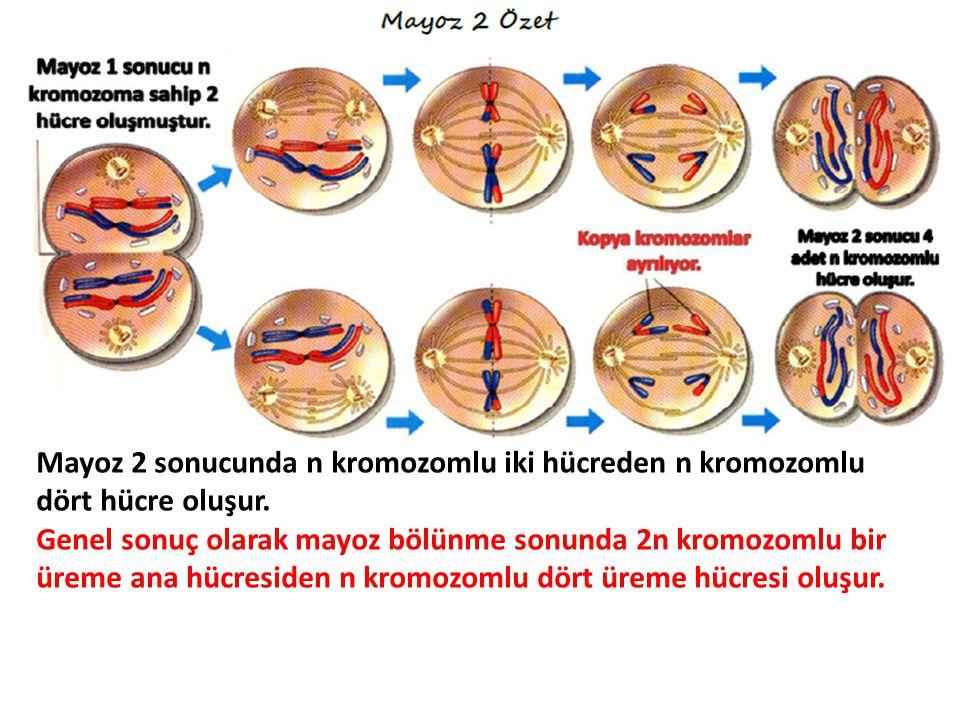 Mayoz 2 sonucunda n kromozomlu iki hücreden n kromozomlu dört hücre oluşur. Genel sonuç olarak mayoz bölünme sonunda 2n kromozomlu bir üreme ana hücre