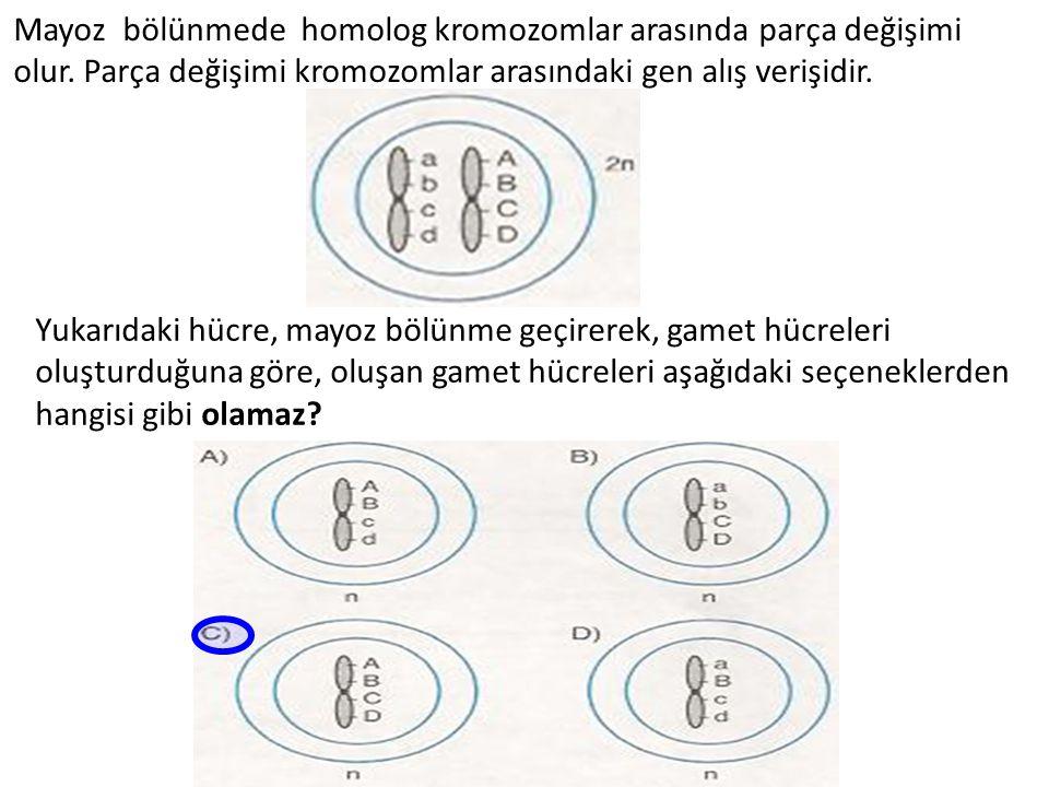 Mayoz bölünmede homolog kromozomlar arasında parça değişimi olur. Parça değişimi kromozomlar arasındaki gen alış verişidir. Yukarıdaki hücre, mayoz bö