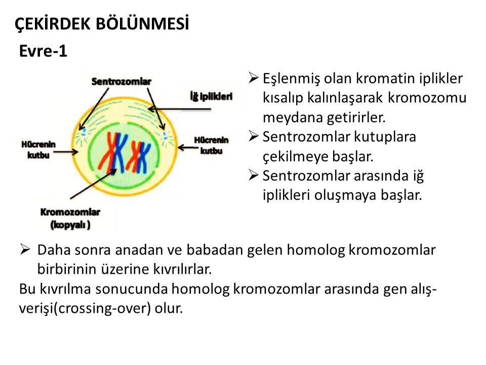 Evre-1 ÇEKİRDEK BÖLÜNMESİ  Eşlenmiş olan kromatin iplikler kısalıp kalınlaşarak kromozomu meydana getirirler.