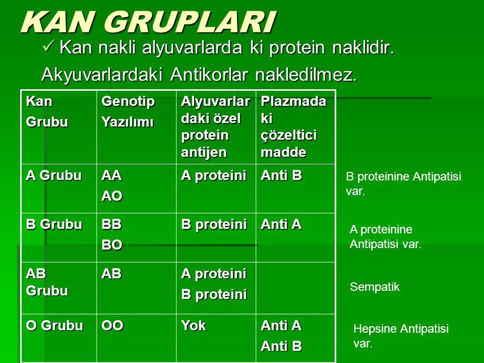 KAN GRUPLARI Kan nakli alyuvarlarda ki protein naklidir. Kan nakli alyuvarlarda ki protein naklidir. Akyuvarlardaki Antikorlar nakledilmez. KanGrubuGe
