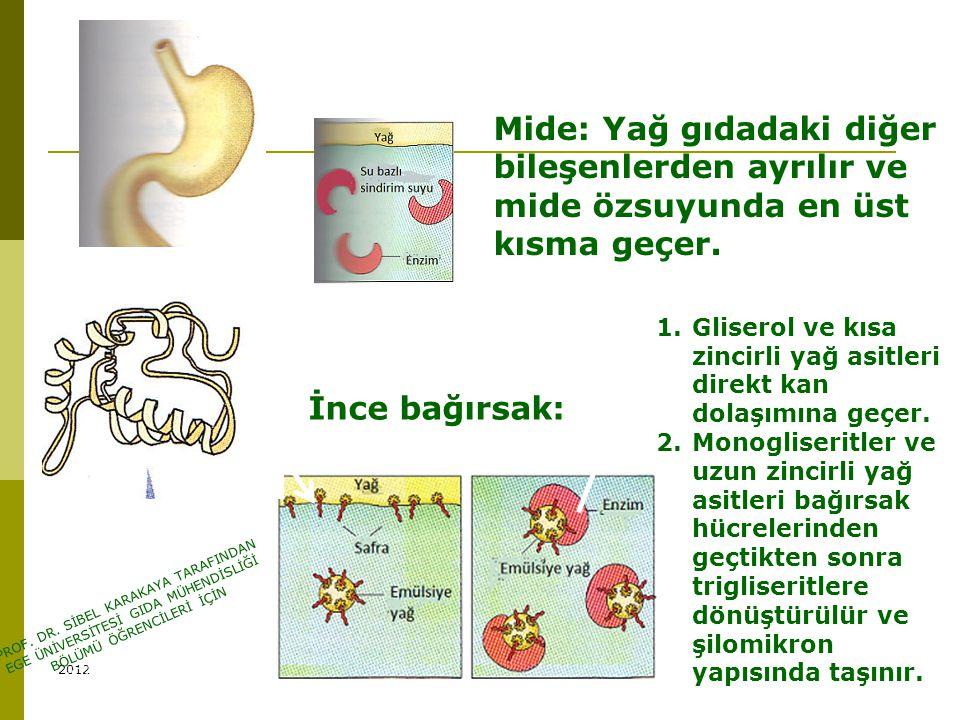 Mide: Yağ gıdadaki diğer bileşenlerden ayrılır ve mide özsuyunda en üst kısma geçer. Yağların sindirimi İnce bağırsak: 1.Gliserol ve kısa zincirli yağ